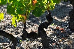 vigne_Carbonnieux